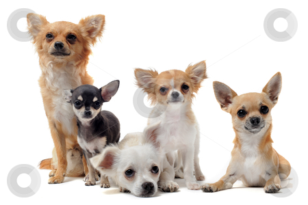 Five chihuahuas stock photo, group of chihuahua  in front of white background by Bonzami Emmanuelle