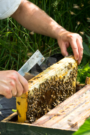 Insight to frame in the beehive stock photo, insight to frame in the beehive to inspection by ludinko