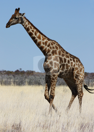 Giraffe stock photo, Namibian wild life, Etosha park, dry season by Perseomedusa
