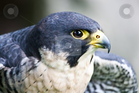 Falcon stock photo, Falcon in a nature reserve, Sutherland, Scotland by Perseomedusa
