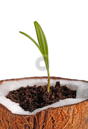 Palm sapling stock photo, Palm sapling in a coconut shell by smarnad