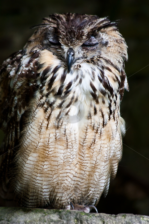 Bengale Eagle Owl stock photo, Bengale Eagle Owl in a nature reserve, Sutherland, Scotland by Perseomedusa