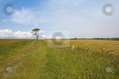Agricultural landscape 3 stock photo, an english landscape with a lone ash tree growing between fields of barley by Mike Smith