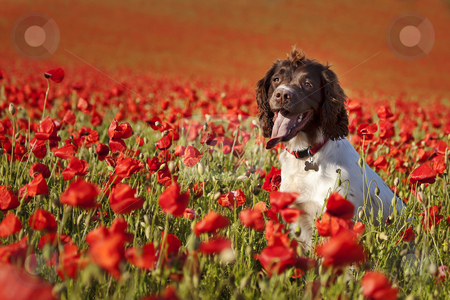 Dog on poppy fields stock photo, dog posing on the beautiful poppy field by photomim