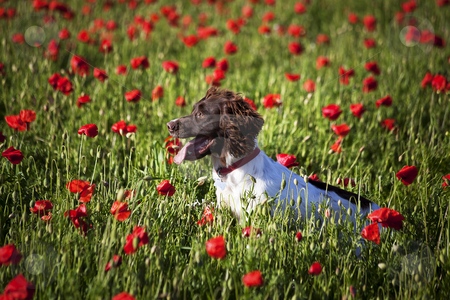 Dog and poppy field stock photo, dog on the beautuful poppy field by photomim