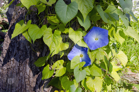 Creeper plant clematis. stock photo, Beautiful creeper plant clematis with few blue blooms growing on on old tree trunk. Alternative name traveller's joy or virgin. by sauletas