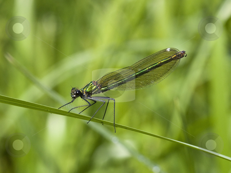 Female banded agrion damselfly stock photo, a female banded agrion also known as banded demoiselle or agrion splendens or calopteryx splendens resting on a leaf by Mike Smith