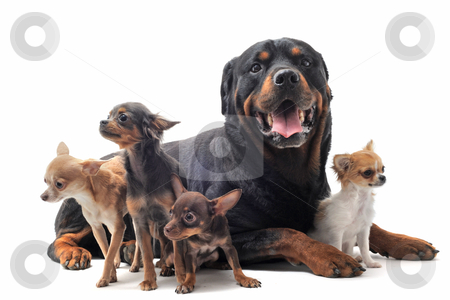 Rottweiler and chihuahuas stock photo, portrait of a purebred rottweiler and  chihuahuas in front of white background by Bonzami Emmanuelle