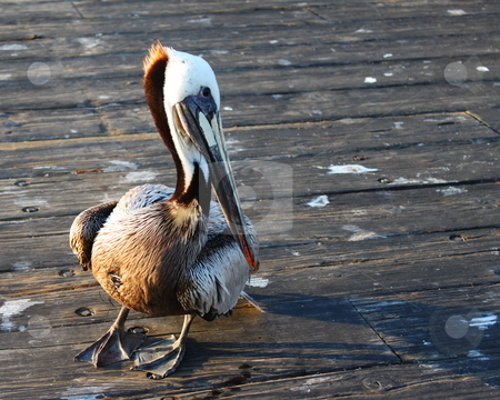 Pelican stock photo, Pelican standing on a wooden pier. by Henrik Lehnerer
