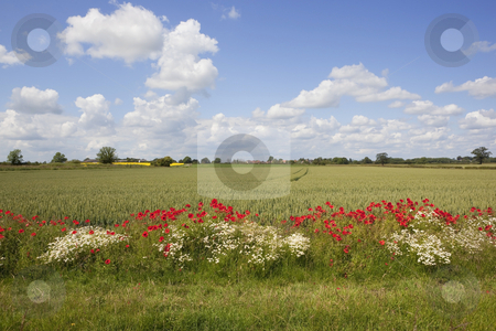 Summer fields stock photo, a summer landscape with mayweed and poppy flowers growing by a wheat field under a blue sky with fluffy clouds by Mike Smith
