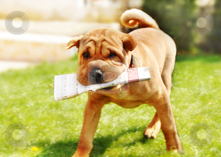 Shar Pei dog with newspapers stock photo, adorable shar pei dog carrying newspaper over green natural background outdoor by Julija Sapic