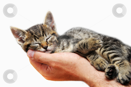 Kitty sleeping in arms stock photo, little baby cat sleeping in male arms isolated over white background by Julija Sapic