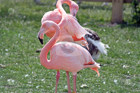 Pink flamingos stock photo, flamingos in a field by lizapixels