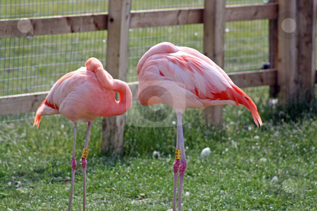 Two flamingos stock photo, two flamingos sleeping by lizapixels