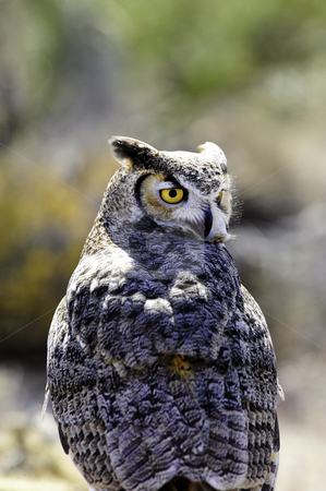 Great Horned Owl stock photo, A portrait of a Great Horned Owl by Don Fink