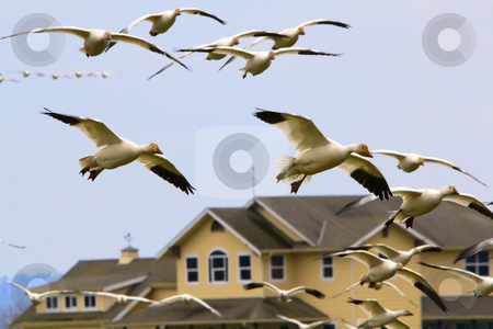 Snow Geese Flying Over House Skagit County Washington stock photo, Snow Geese Flying Over Countryside House Close Up  Skagit County Washington by William Perry