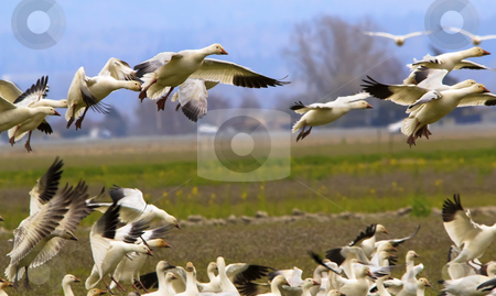 Snow Geese Flying Landing Joining Flock Skagit County Washington stock photo, Snow Geese Flying Over Countryside Close Up Landing Joining the Flock Skagit County Washington by William Perry
