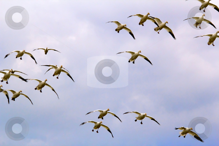 Snow Geese Flock Flying Landing Skagit County Washington stock photo, Snow Geese Flock in Sky Flying Glyding and Landing Skagit County Washington by William Perry