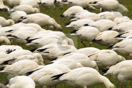 Snow Geese Flock Feeding Close Up Skagit County Washington stock photo, Snow Geese Flock Feeding Grass Close Up  Skagit County Washington by William Perry