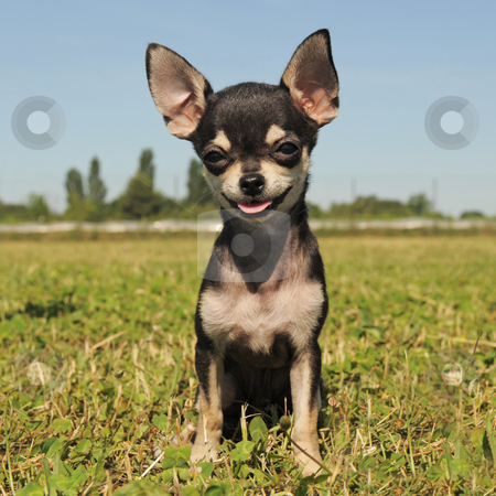 Related Pictures chihuahua rottweiler mix deckss com
