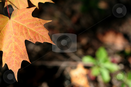 Orange Maple Leaf stock photo, A autumn orange maple leaf.  by Chris Hill