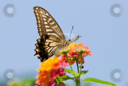 Colorful swallowtail butterfly flying and feeding on flowers stock photo, Colorful swallowtail butterfly flying and feeding under blue sky  by Lawren