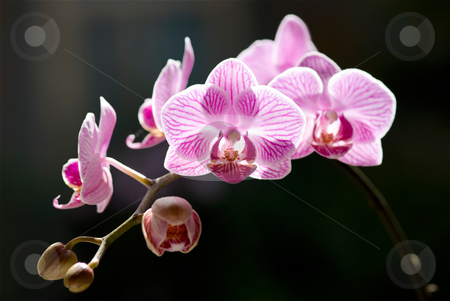 Beautiful moth orchid flowers with back sunlight stock photo, Beautiful moth orchid flowers with back sunlight. Tropical flowers. by Lawren