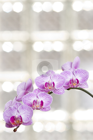 Blossoming orchid flowers with sunny light in glass windows  stock photo, Blossoming orchid flowers with sunny light in glass windows (phalaenopsis spp.) by Lawren