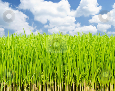 Growing fresh grass stock photo, Beautiful and fresh grassland under morning light.  by Lawren
