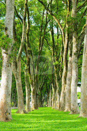 Rows of trees and path in green grass   stock photo, A path of green grass  between rows of trees by Lawren