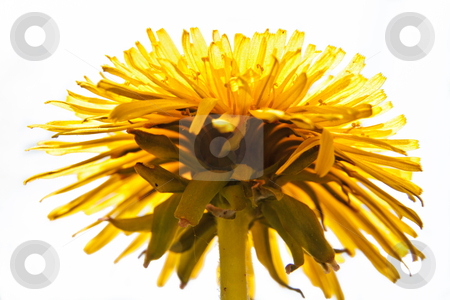Common Dandelion from bottom view stock photo, Detail of Common Dandelion with Head in full bloom from bottom view by redpike42