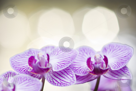 Two blossoming orchid flowers stock photo, Two blossoming orchid flowers with bokeh background (phalaenopsis spp.) by Lawren