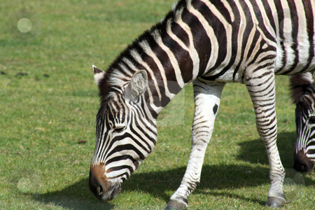 Zebra stock photo, a zebra grazing on grass by lizapixels