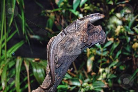 Lizard / gecko on a dry log