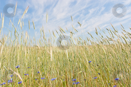 Rye Field stock photo, Rye (Secale cereale) is a grass grown extensively as a grain and as a forage crop. It is a member of the wheat tribe (Triticeae) and is closely related to barley and wheat. by Mariusz Jurgielewicz