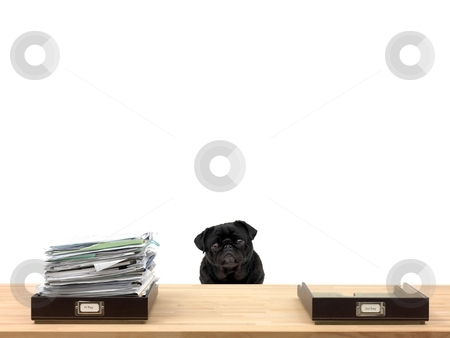 Business Admin stock photo, In and out office trays in an office situation and a pug by Kitch Bain