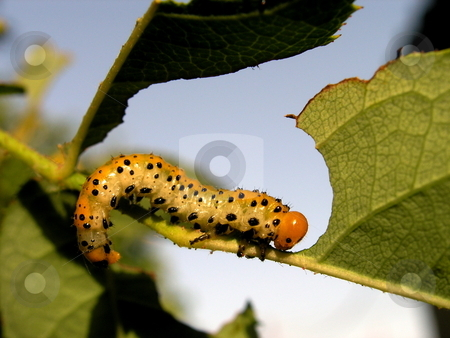 Caterpillar eating leaf stock photo, close up of caterpillar eating a green leaf by Anjoazule