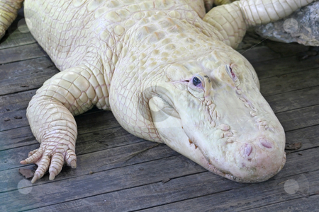 White Alligator stock photo, A close-up of a white alligator laying on wood by Lucy Clark