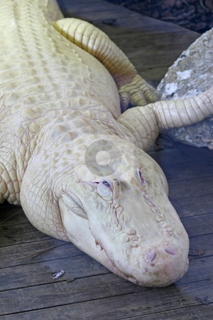 White Alligator stock photo, A close-up of a white alligator laying on wood. by Lucy Clark