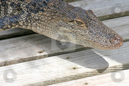 Alligator stock photo, A close-up of an alligator laying on wood. by Lucy Clark