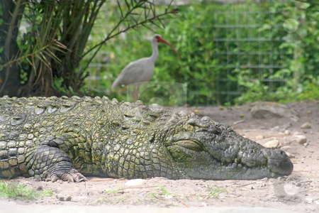 Alligator and Bird stock photo, A close-up of an alligator and a bird. by Lucy Clark