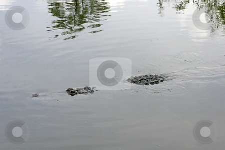Alligator stock photo, An alligator swimming in water in Florida. by Lucy Clark