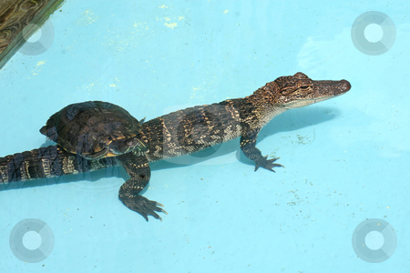 Alligator and Turtle stock photo, An Alligator and a Turtle swimming in water. by Lucy Clark