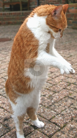 Cat on 2 Legs stock photo, A Cat up on standing on 2 legs. by Lucy Clark