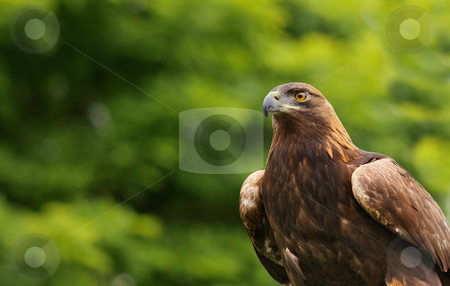 Brown Falcon stock photo, Brown and gold  falcon against a soft green tree background by bobkeenan