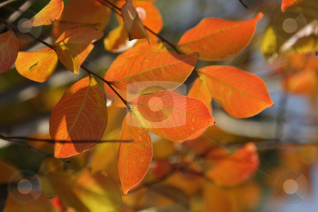 Fall foliage stock photo, Closeup photo of bright red fall foliage on a tree by Olena Pupirina