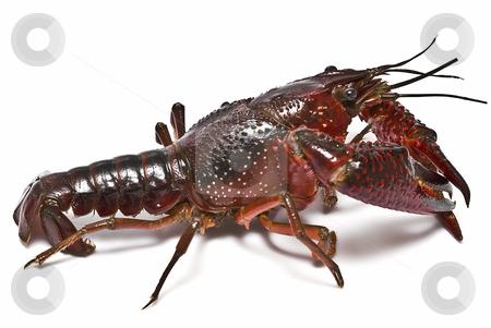 american crayfish.