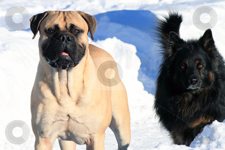 Dogs stock photo, Dogs in the swiss snow looking at me by coburn77