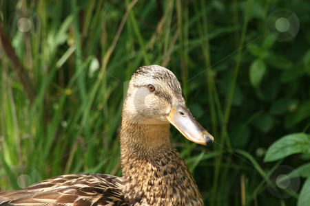 Wild duck (Anas platyrhynchos) stock photo, Female wild duck (Anas platyrhynchos) - portrait by Torsten Dietrich