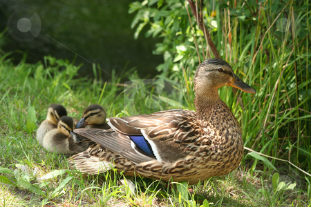Wild duck (Anas platyrhynchos) stock photo, Female wild duck (Anas platyrhynchos) with ducklings in the sun by Torsten Dietrich